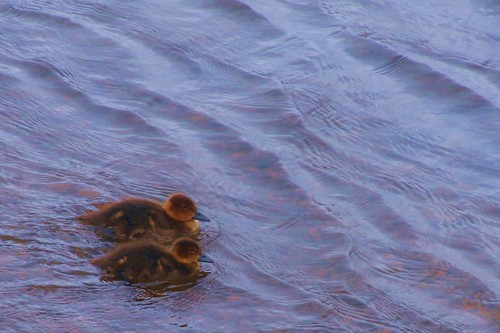 Ducklings on Lake Myvatn
