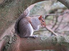 """Gray Squirrel"" (seanwalsh4) Tags: squirrel squirrels nuts furry nice cute bristol sean walsh nature wild grey canoncamera"
