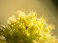 The nest (Indigo & Mandarynn) Tags: fourmi insecte fleur ouvéa macro nature nouvellecalédonie olympus omdem1 zuiko60mmf28 micro43 ant flower yellow jaune