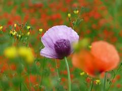 Poppy (libra1054) Tags: mohn poppy papavero amapola pavot papaver macro flowers blumen flores fiori fleurs flora outdoor