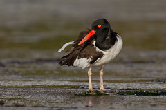 American Oystercatcher - Haematopus palliatus - Pilpilén (Paul B Jones) Tags: americanoystercatcher haematopuspalliatus pilpilén chiloéisland isladechiloé chile bird shorebird wader sandpiper nature wildlife wild animal vogel aves oiseau canoneos1dmarkiv ef800mmf56lisusm southamerica southamerican südamerika amériquedusud sudamerica chilean chilenos photo photograph image picture trip travel birdschile tour tourism ecotourism tourist birding birdwatching wetland