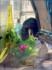 The Stealth of the Poodle 6/52 (SpooAddicts & the SpooCrew) Tags: kiera poodle standardpoodle partipoodle coloredglass lanai orchid