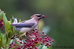 Cedar Waxwing - IMG_5625 (arvind agrawal) Tags: cedarwaxwing bombycillacedrorum waxing bird wildlife berries canon1dx canon600mmf4ii canon14xiii arvindagrawal toyon heteromelesarbutifolia christmasberry