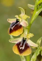 20160330-128F (m-klueber.de) Tags: 20160330128f 20160330 2016 mkbildkatalog griechenland mittelgriechenland böotien südeuropäische mediterrane ostmediterrane flora orchidee orchidaceae ophaesc ophrys aesculapii äskulap äskulapragwurz ragwurz