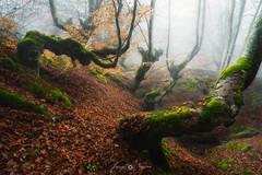 no rules (Javy Nájera) Tags: espaã±a larioja otoã±o haya hayedo naturaleza niebla paisaje españa fonfria otoño spain autumn beech nature fog landscape color
