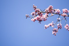 blossom (ΞSSΞ®®Ξ) Tags: ξssξ®®ξ pentax k5 angle 2017 smcpentaxm50mmf17 outdoor plant sky roma blooming flowers sunday pincio villaborghese pov italy lazio prunusserrulata pink cherryblossom blossom flower tree branches colors light