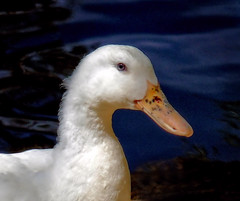 Mrs Duck (Smiffy'37) Tags: duck water bird wildfowl wildlife nature