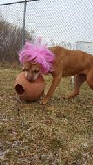 MJ (DDA1) Tags: saveapetilorg saveapet adoption adoptionshelter adoptioncenter adoptable adopt dog pocketpittie pitbullmix wig pink fun funny seniordog