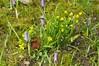 Am Schloss vor Husum setzt die Krokusblüte ein - Krokusse und ein Gelbstern (Gagea sp.); Nordfriesland (13) (Chironius) Tags: husum schleswigholstein nordfriesland deutschland germany allemagne alemania germania германия szlezwigholsztyn niemcy grauestadt blüte blossom flower fleur flor fiore blüten цветок цветение liliales lilienartige liliengewächse liliaceae lilioideae gelb