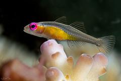 _MG_4562 (Robbysub) Tags: macro underwater romblon 2015 filippine