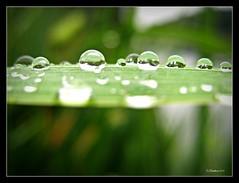 Raindrops 2 (CanMan90) Tags: macro closeup reflections bc bokeh vancouverisland cedar raindrops quennellake
