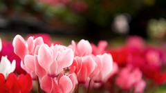 251/365: Shades of pink (judi may...mostly off for a while) Tags: pink flowers dof bokeh cyclamen gardencentre day251 pinkcyclamen canon7d day251365 365the2015edition 3652015 8sep15