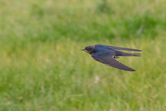 Swallow (GaseousClay1) Tags: hirundorustica swallow bird avian nature wildlife birdinflight orenetavulgar landsvale rauchschwalbe golondrinacomún haarapääsky hirondellerustique rondine boerenzwaluw låvesvale andorinhadaschaminés ladusvala деревенскаяласточка martinclay