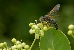 Digger Wasp (fred h) Tags: dsc4684 fredholley diggerwasp