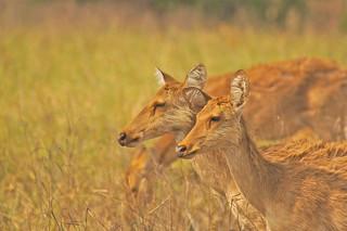 endangered Barasingha (Swamp Deer), Kanha Tiger Reserve, India