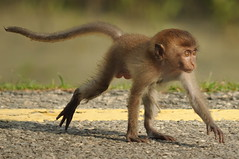 Baby monkey (Lim SK) Tags: