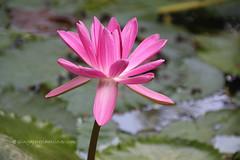 IMG_2727 (singaporeplantslover) Tags: nymphaea   lotus