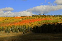 Aspen Red, Boulder Mountain (Bob Palin) Tags: autumn 15fav usa southwest tree fall 1025fav 510fav forest canon landscape utah outdoor 100v10f september bouldermountain dixienationalforest garfieldcounty 100vistas instantfave ashotadayorso orig:file=2015091702855 poseylakeroad