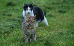 cat (09) (Vlado Ferenčić) Tags: cats animals croatia catsdogs podravina hrvatska nikkor8020028 nikond600