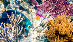 Sian Ka'an submarino (julien.ginefri) Tags: ocean sea sky mer fish pez color beach coral mxico angel mexico mar ange yucatan playa ciel cielo mexique frances poisson plage angelfish franais sian couleur roo oceano quintana kaan gorgon gorgonia corail gorgone biosfera