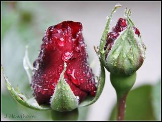 Rosebuds and Raindrops