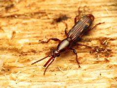 Oak Timberworm Female (treegrow) Tags: nature insect washingtondc beetles rockcreekpark arthropoda coleoptera lifeonearth raynoxdcr250 brentidae arrhenodesminutus canonspeedlite430exii taxonomy:binomial=arrhenodesminutus canonpowershotsx40hs