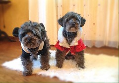 New coats for Kia & Mia (Dark YorkiPoos) Tags: cute dark small adorable m mia kia yorkiepoo hypoallergenic yorkipoo terripoo poodleyorkie nonshed