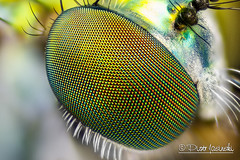 Fly's eye (Karlgoro1) Tags: black color macro eye field animal closeup canon bug insect eos fly is photo eyes nikon focus bright head background plan stack na 7d usm wd depth ef cfi 70200mm 025 105mm stacker 10x f4l explored zerene achromat macrolife
