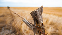 _DSC3430 (fishgirl7) Tags: family fence log wire branch stump barbedwire fields crops southaustralia uncleross southoz goldencrops march2015