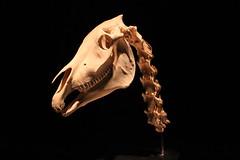 Science World - October 15, 2015 (rieserrano) Tags: horse skull bodyworlds plastination