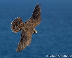 Peregrine Falcon? (Robert Streithorst) Tags: costa bird robert mexico star maya flight norwegian falcon costamaya norwegianstar streithorst robertstreithorst