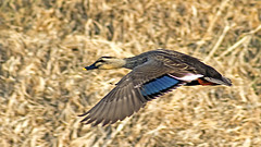 Spot Billed Duck in Flight (Johnnie Shene Photography(Thanks, 1Million+ Views)) Tags: wild people motion colour bird nature animal horizontal canon lens photography eos rebel fly flying duck still wings focus scenery kiss slow view natural image zoom outdoor teal no wildlife side watching birding flight duckling scenic ducks tranquility scene korea spot full ii theme midair mallard limbs flapping length viewpoint 75300 flap ef tranquil freshness dg stationary foreground selective 456 t3i x5 behaviour billed  fragility 600d f456  7530mm
