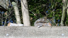 Sleepy Squirrels (zenseas) Tags: seattle morning autumn sleeping wild fall washington squirrel squirrels explore sleepy woodlandparkzoo graysquirrel westerngraysquirrel enjoyingthesun wpz explored sciurusgriseus sunloving