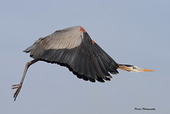 GBH In Flight (Parris Photography) Tags: delaware greatblueheron primehook parrisphotography