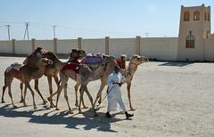 doha camel race (17) (Parto Domani) Tags: animal animals race radio robot corse arabic east camel arab oriente practice middle peninsula medio animali animale  doha qatar corsa arabica cammello  arabo penisola dromedario araber     cammelli  dromedari