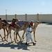 doha camel race (17)