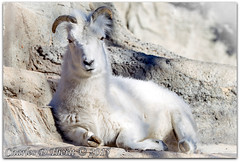 Dall Sheep (ctofcsco) Tags: 1500 1d 1div 200mm 63 canon colorado dall dallsheep dalls dallssheep ef200mm ef200mmf2lisusm eos1d eos1dmarkiv explore f63 iso100 mark4 markiv ovisdallidalli sheep supertelephoto telephoto unitedstates usa 2015 animal bokeh denver denverzoo explored geo:lat=3975024770 geo:lon=10494968870 geotagged nature northamerica statecapitol vinestreethouses wildlife wwwdenverzooorg zoo topawardersl1 best wonderful perfect fabulous great photo pic picture image photograph