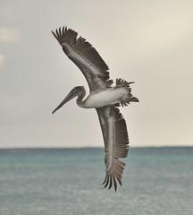 Pelican (Keo6) Tags: pelicanseadivingwater