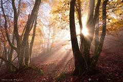Positive vibration III (Hector Prada) Tags: bosque niebla hayas otoño rayos jirones mistico tranquilidad color explosion naturaleza paisaje ambiente atmosfera luz alava forest fog tree autumn rays mist mystic mystical light hectorprada nikon colorfull sunlight golden d610 shadows
