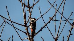 Buntspecht im Kirschbaum genießt die Sonne / Great Spotted Woodpecker in Cherry Tree looking for sun (p.schmal) Tags: olympuspenepl7 hamburg farmsenberne eichelhäher jay