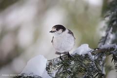 Grey Jay (namra38) Tags: greyjay annettelake armanwerthphotography snow hike