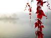 Serenity_Enchanted_by_sirpecangum (Afrizal Firmansyah) Tags: thames wrc parthenocissus leaves sunrise mist photobook