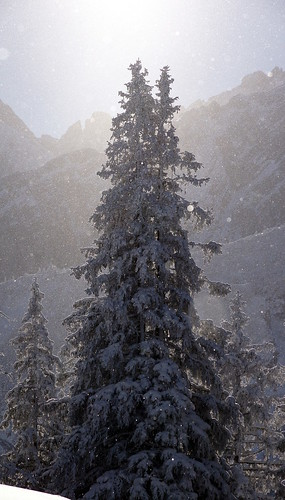 Ice sparkling around the snow covered fir