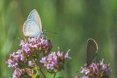 Are you there? (S♡C) Tags: butterflies lycaenidae macro tamron