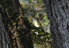 picchio verde (Roberto Gramignoli) Tags: picchioverde natura uccelli uccello volatili avifauna greenwoodpecker woodpecker birds bird animale animali animal nature animals