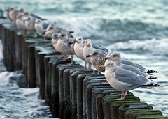 chillende Möwen (Norbert Kaiser) Tags: ostsee graalmüritz mecklenburgvorpommern silbermöwe larusargentatus strand tier buhne