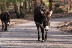 Donkeys on road in New Forest National Park (Ian Redding) Tags: britain england newforest uk asses brown donkey donkies free highway nationalpark nature pair road roaming walking wild wilderness woodland landford unitedkingdom gb