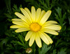 Yellow Daisy (tresed47) Tags: 2017 201701jan 20170112longwoodflowers canon7d chestercounty content daisy flowers folder longwoodgardens macro pennsylvania peterscamera petersphotos places takenby technical us