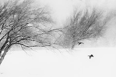 White Winter-3. (mopsikpug) Tags: winter blackandwhite outdoor snow birds trees mood monochrome wind