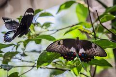 I am here... (S♡C) Tags: papilioaegeus orchardswallowtailbutterfly largecitrusbutterfly pair yard backyard butterflies